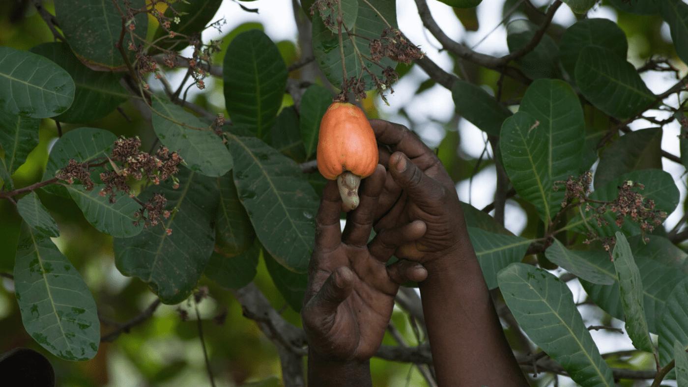 Cashew Apple, Benin