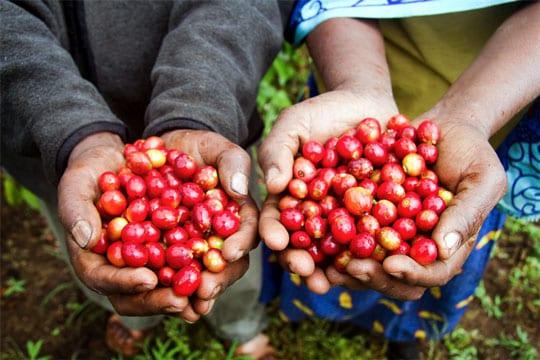 Kenyan farmers holding ripe coffee cherries