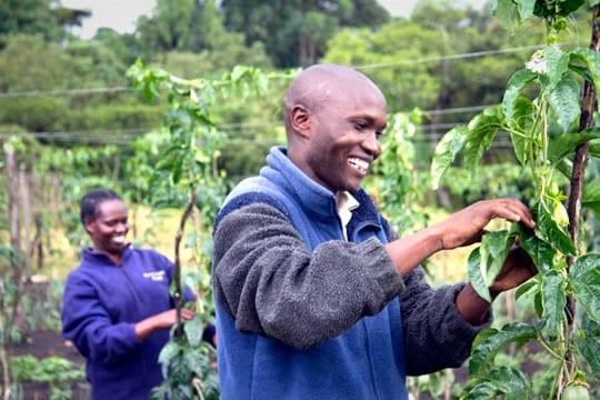 farmers tend purple passion fruit vines in the highlands of western Kenya