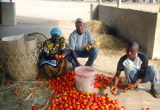 Farmers sorting tomatoes in Tanzania
