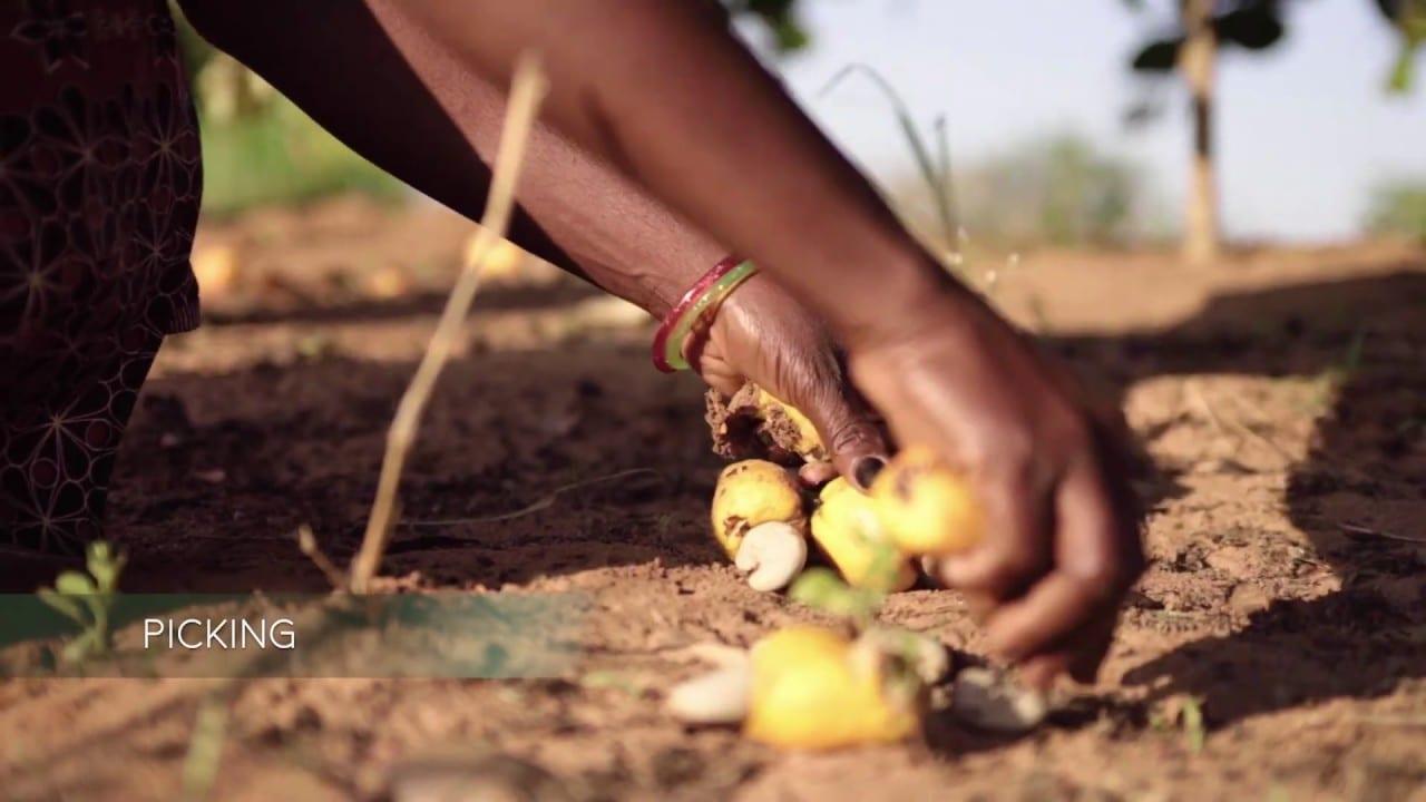 Woman picking cashews in Africa