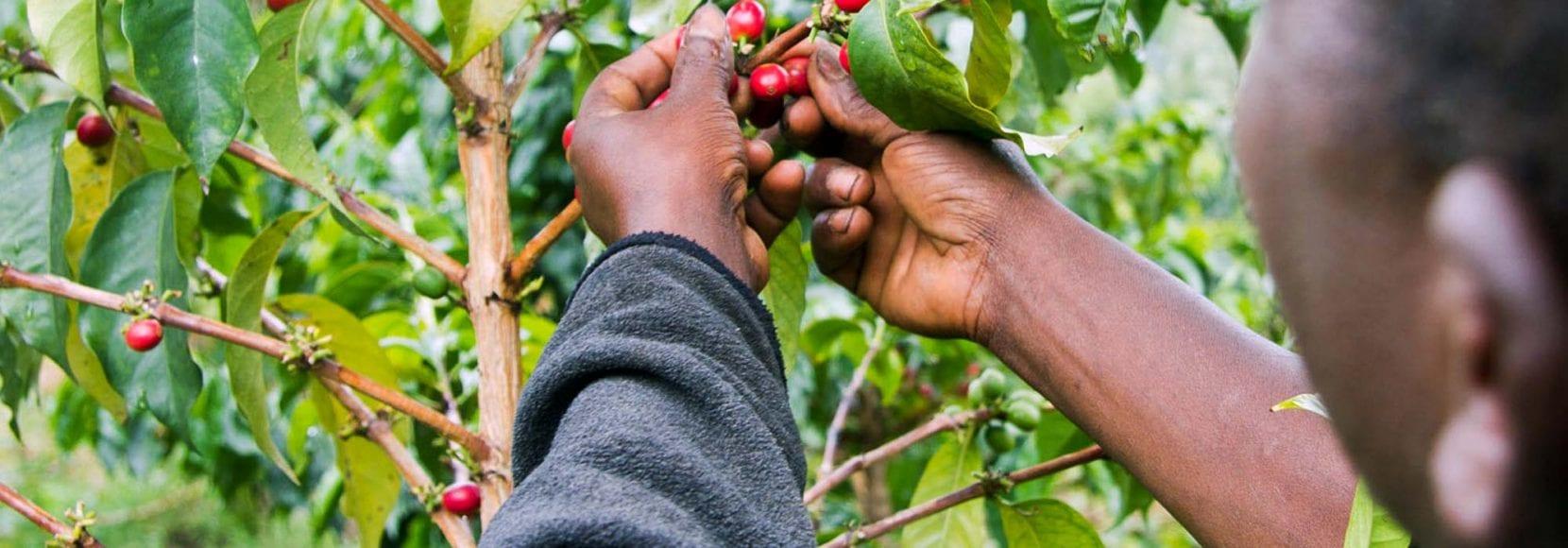 Farmer picking coffee cherries in kenya
