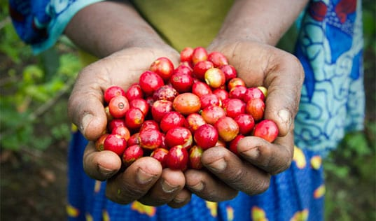 How Good Coffee Becomes Good Business for African Farmers