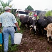 Farmer carrying buckets to cows