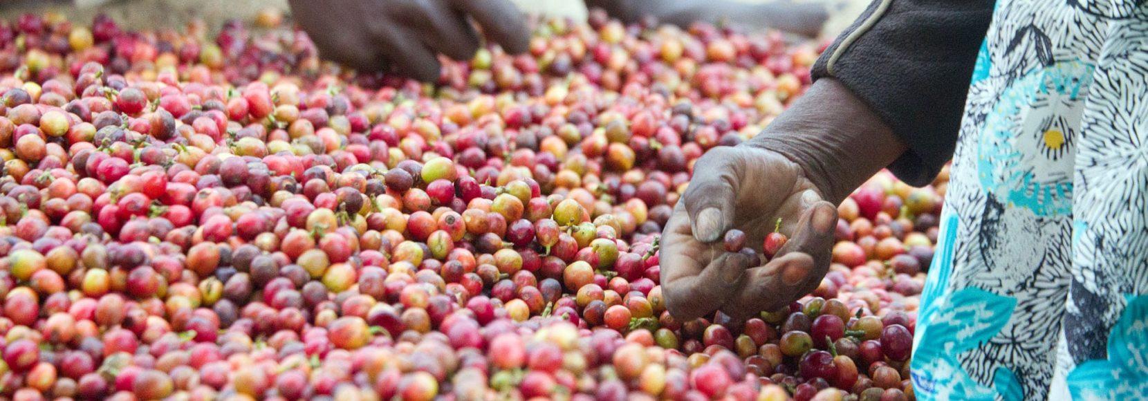 People picking up coffee cherries