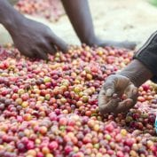 People picking up coffee cherries