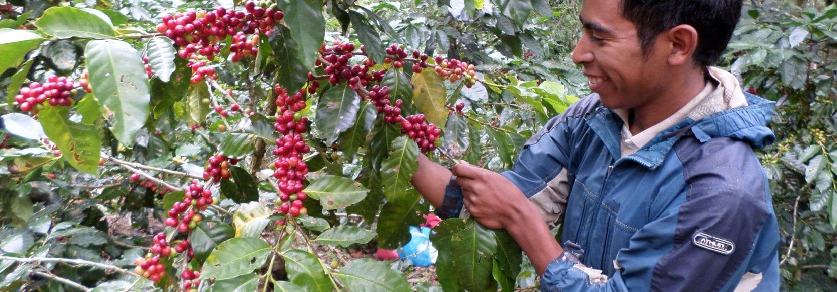 Man inspecting coffee cherries in Honduras