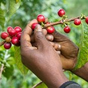 Coffee cherries on the vine