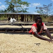 Farmer working to dry coffee beans in Sudan