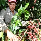 Engmar Omar Ort'z picks coffee at La Panorma coffee farm
