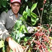 Engmar Omar Ort'z picks coffee at La Panorma coffee farm