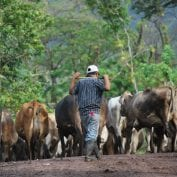 A farmer herds his cattle