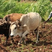 Man working with cows