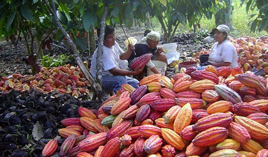 Revolutionizing Cocoa Farming in Peru