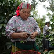Woman working with coffee cherries