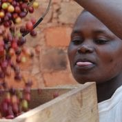 Person during coffee cherries