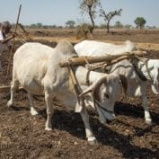 Man tilling field with oxen, Chau Mahla District, Rajasthan, India