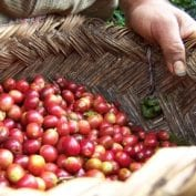 Coffee cherries in a basket