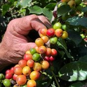 Puerto Rican coffee cherries