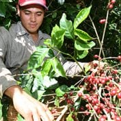 Man working with coffee trees