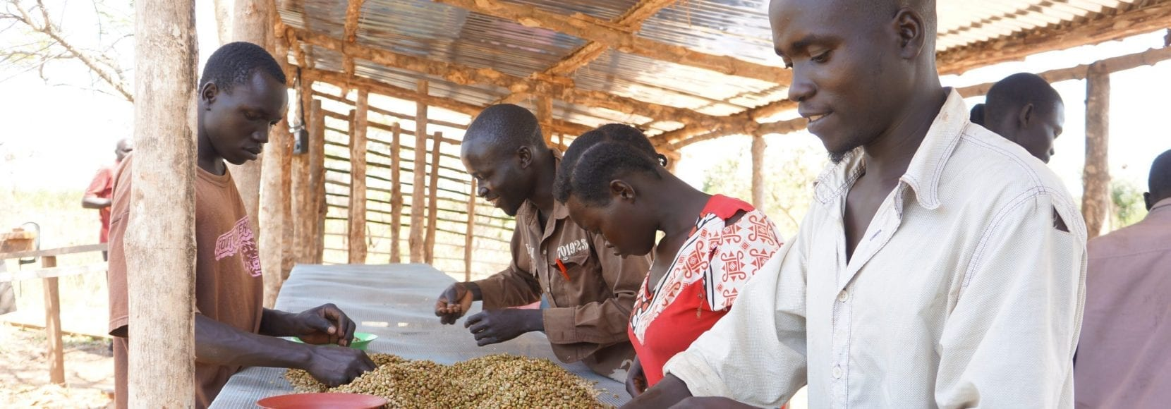 Group of people picking through coffee beans