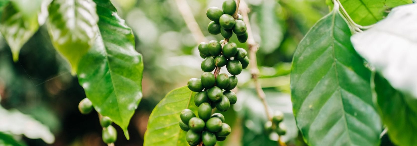 Coffee beans on the vine in Ethiopia