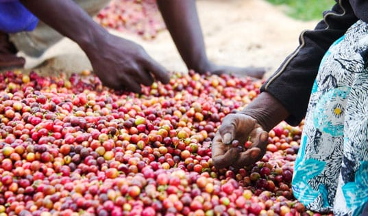 What Goes Into Your Coffee? Better Incomes for Farmers