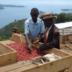 Two coffee farmers inspecting their beans