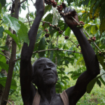 Man working to harvest coffee cherries