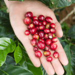Coffee cherries held in persons hand