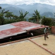 Man raking coffee beans on top of roof