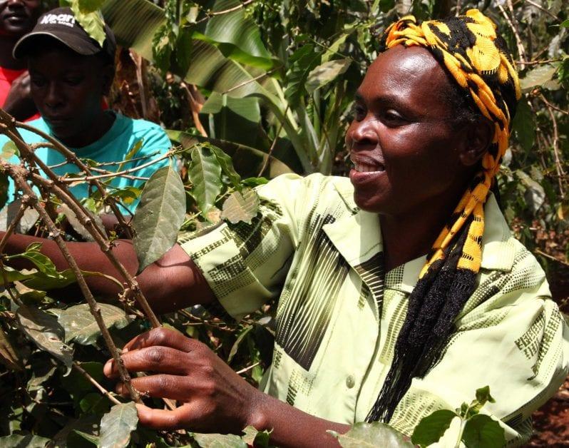 woman coffee farmer harvests coffee in Kenya