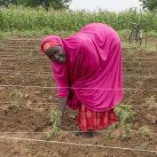 Woman harvesting crops in Nigeria