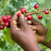 the hands of a coffee farmer picking coffee cherries - close-up photo