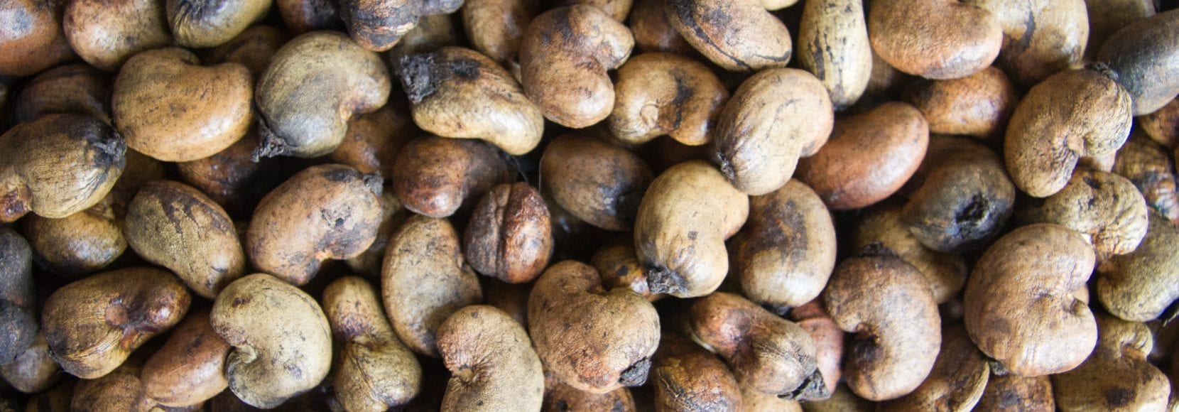 The cashew industry is an essential focus among TechnoServe programs. This photo features a close-up of cashews in shell, Agri-Business Company cashew factory, Touba, C™te d'Ivoire. Cashews in shell, Agri-Business Company cashew factory, Touba, Côte d'Ivoire.