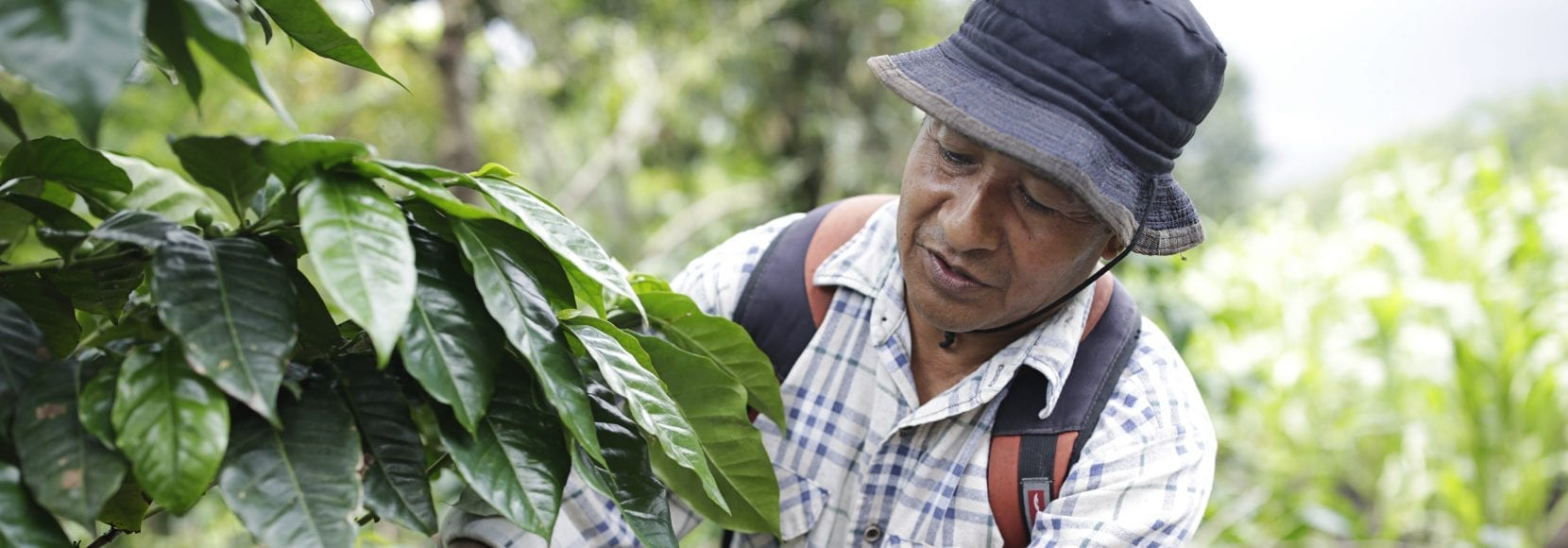 Man inspecting his coffee trees