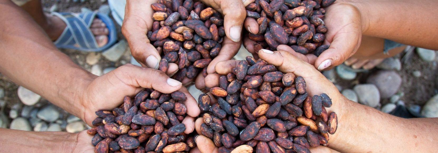 Association of Cacao Producers, Las Mercedes Community, Bellavista, San Martín, Perú.