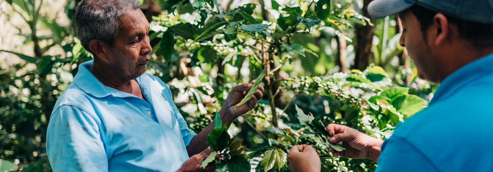 Two men inspecting their coffee trees