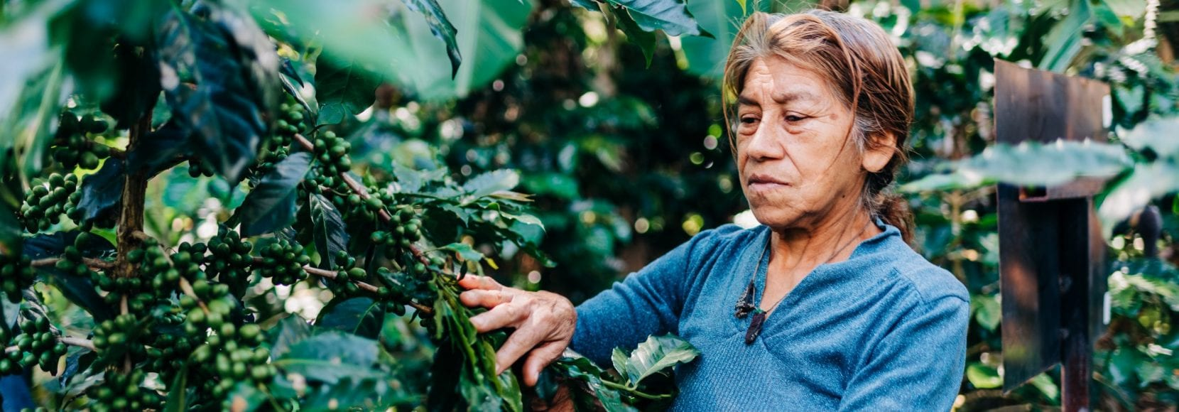 Woman picking coffee beans off the vine