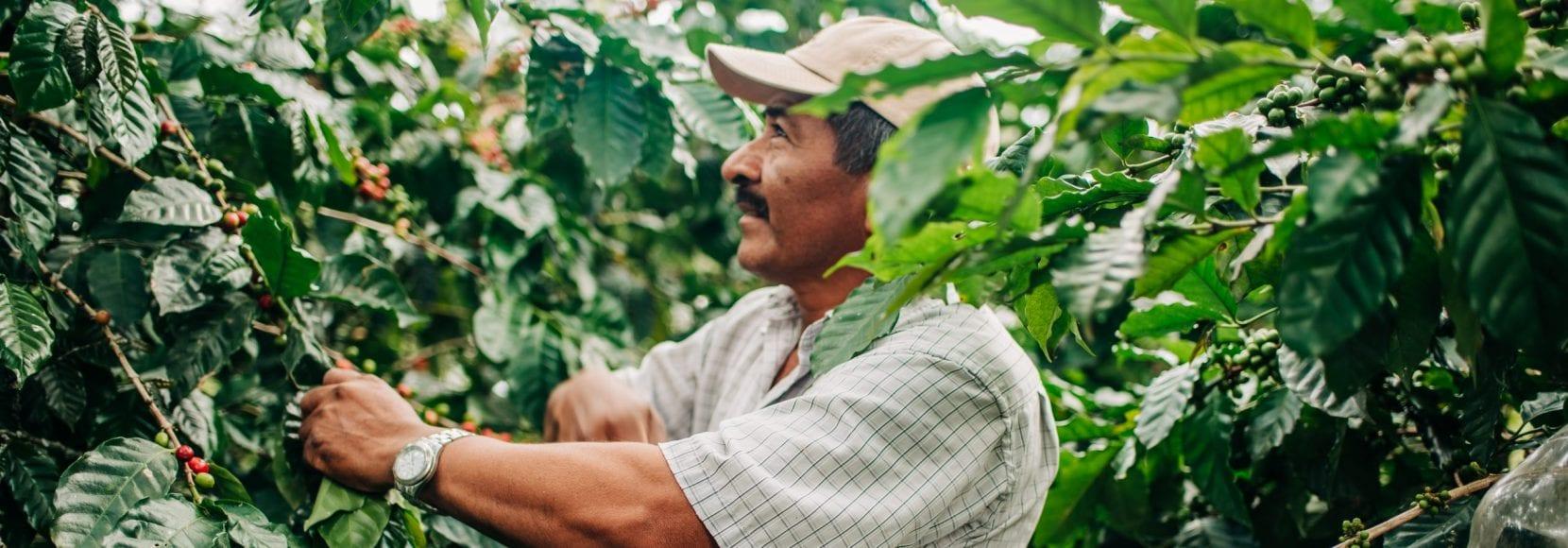 Farmer harvesting crop