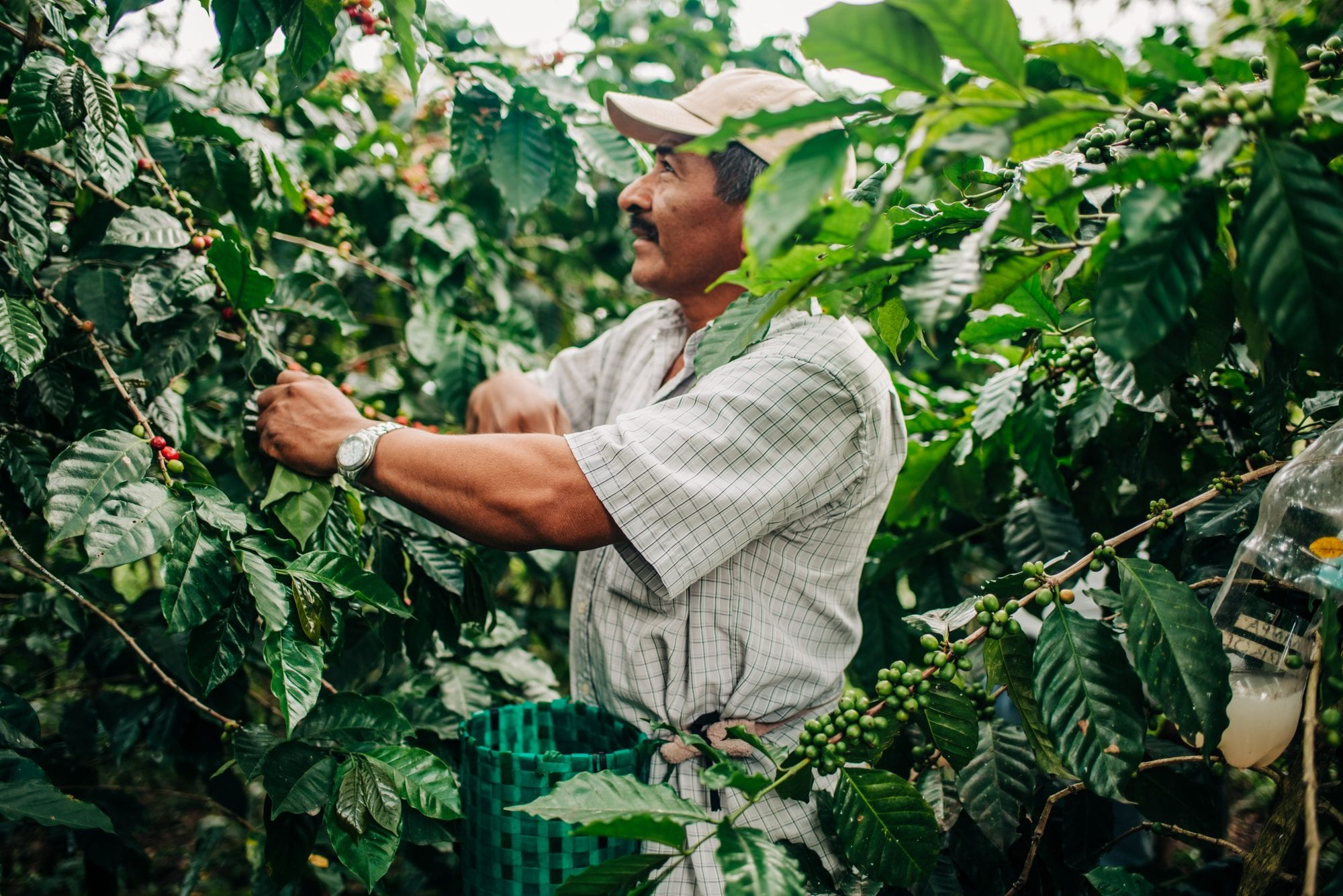 A coffee farmer in Honduras picks coffee cherries.