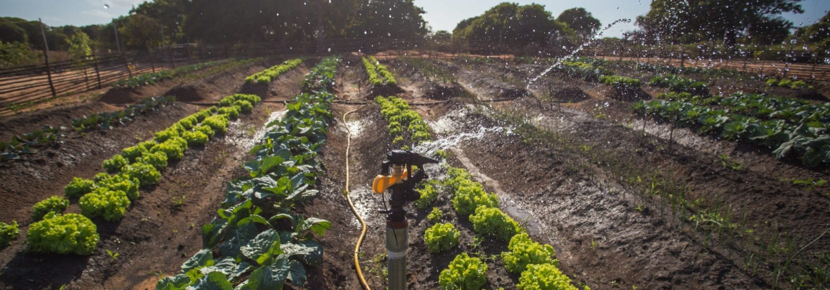 Vegetables are planted in neat rows in Mozambique
