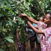 Tigelfre Cashier Harvests Cherry