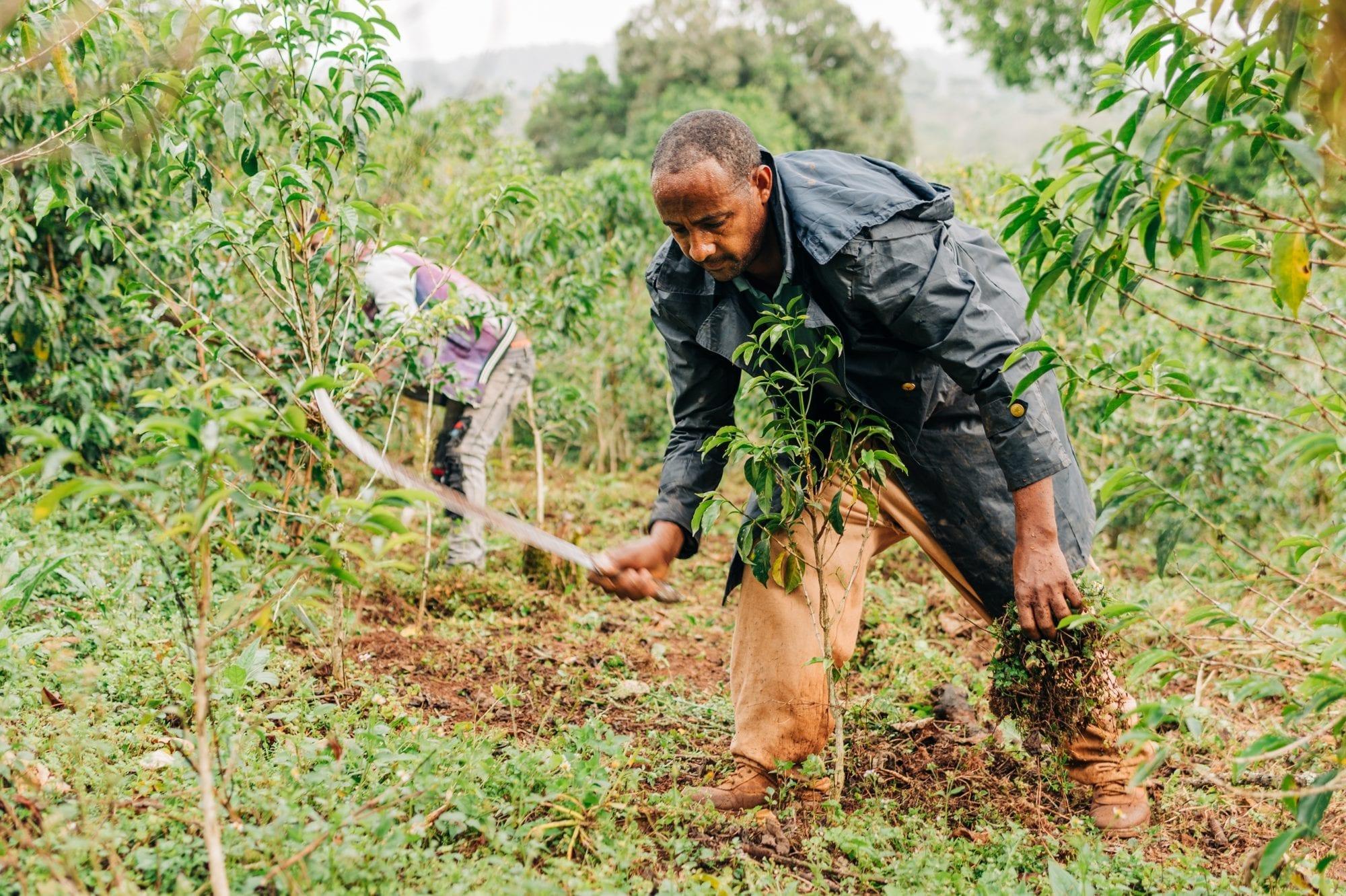 A coffee farmer in Ethiopia tends to his farm