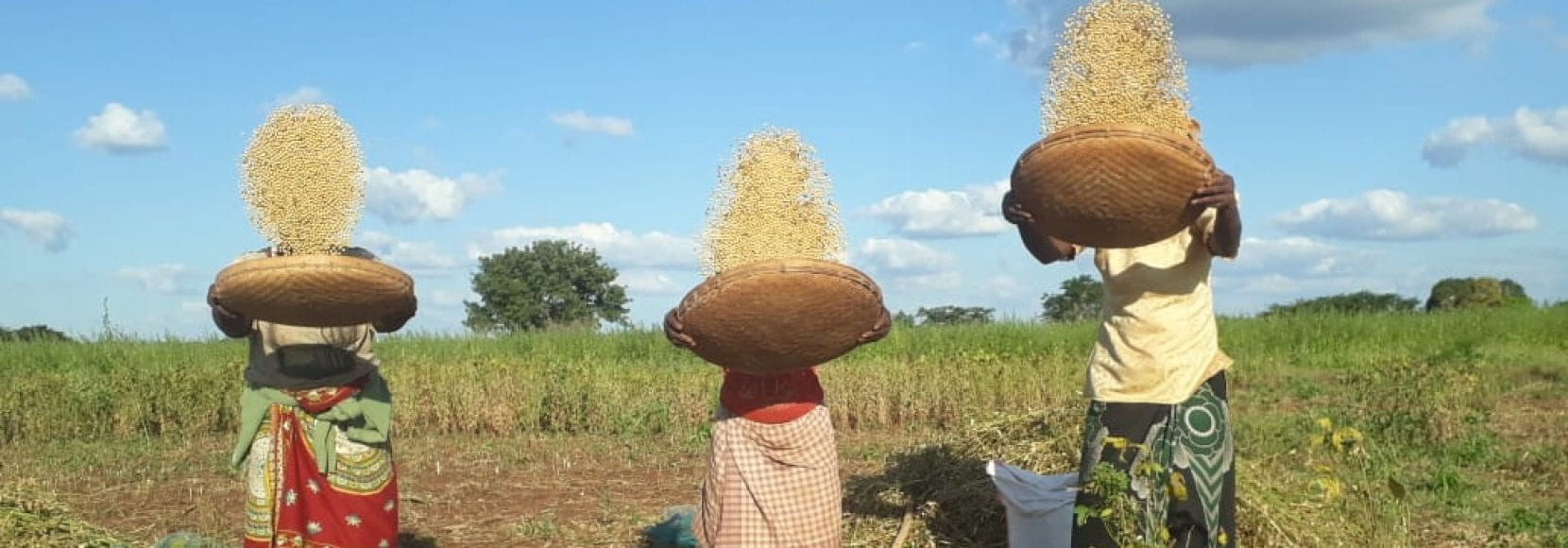 Three farmers tossing their soybean crops