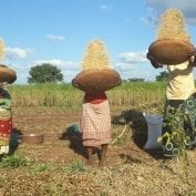 Three farmers tossing their soybean crops
