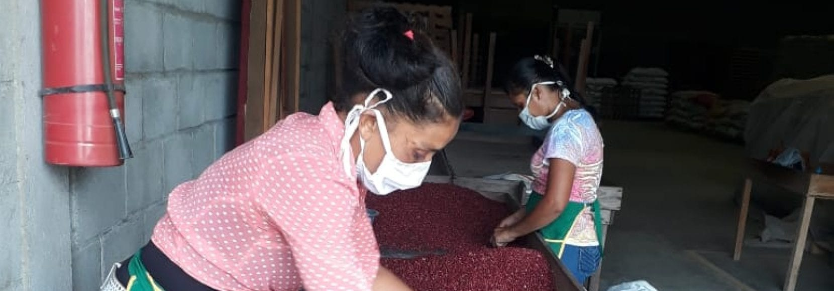 Bean farmers in MAS+ sort beans while physically distant and wearing masks.