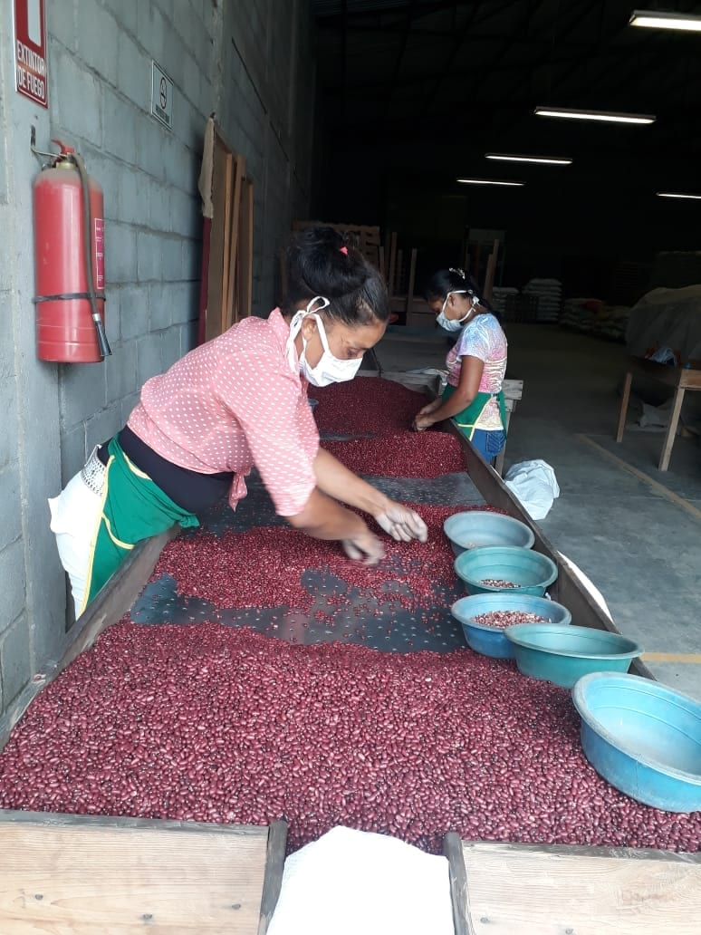 Women bean farmers in Honduras practice physically distant sorting.