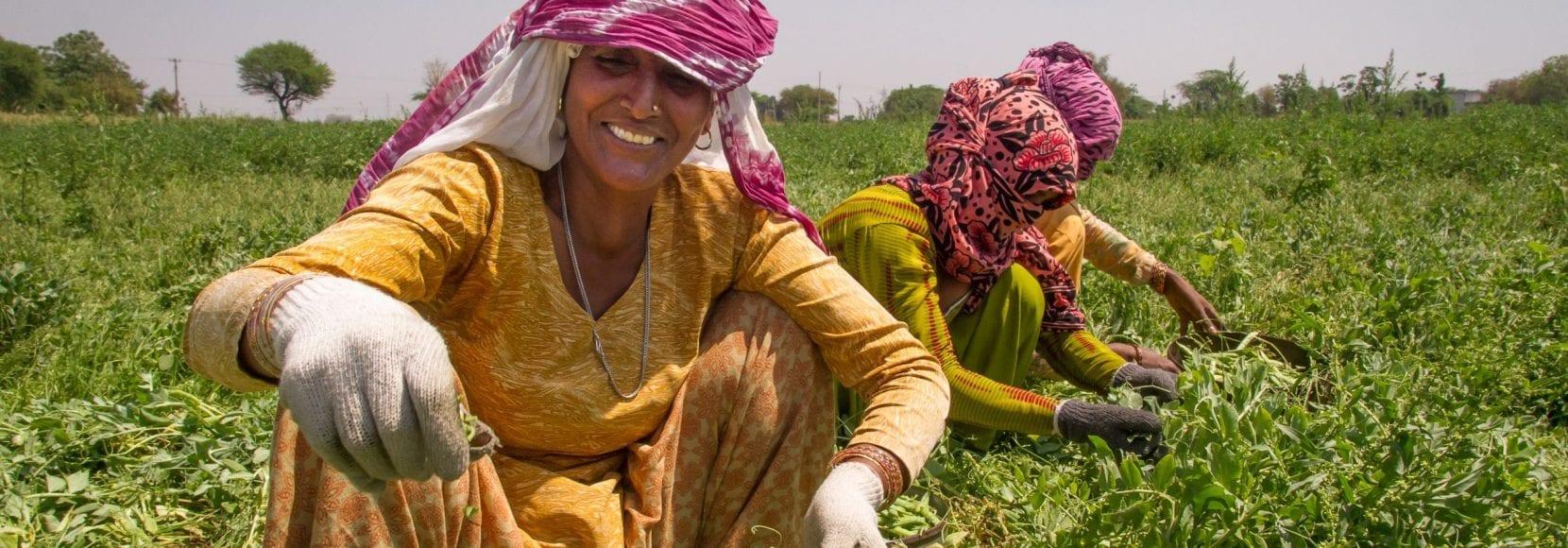 Women harvest peas in India
