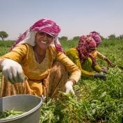 Women harvest peas in India